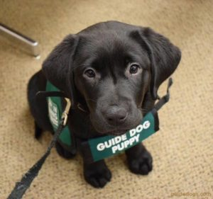 guide-dog-puppy2